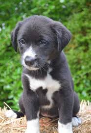 do blue heeler border collies shed is the border collie lab mix really the easiest to get along with
