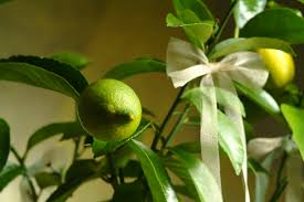zitronenbaum als zimmerpflanze so gedeiht er prächtig