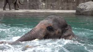 A Beautiful Juvenile Elephant Gleefully Splashes Around In The Pool With His Mighty Trunk