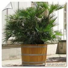 prix des palmiers exterieur achat du palmier nain ou palmier de méditerranée acheter au