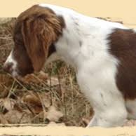 upland hunting dogs 101 learn about the different gun dog breeds