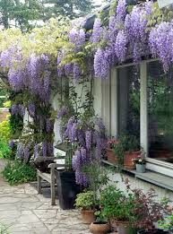 planting wisteria in a pot garden forum wisteria these days