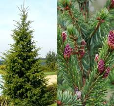 3ft Christmas Tree by 1x 3ft Large Picea Omorika Tree Serbian Spruce Christmas Tree