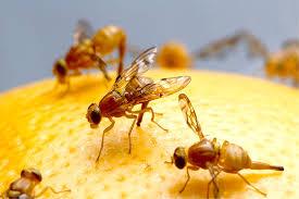was tun gegen fruchtfliegen tipps hausmittel