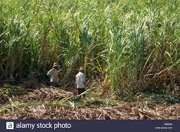 Harvesting Sugar Cane By Hand Valle De Los Ingenios Trinidad Cuba West Indies Central America