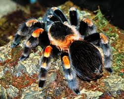 Do Tarantulas Shed Their Legs by Mexican Red Knee Tarantula Care The Herpetological Society Of