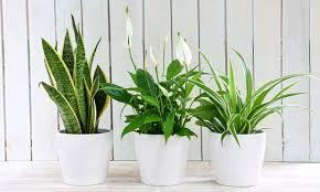 3er set luftreinigende pflanzen einblatt grünlilie und bogenhanf