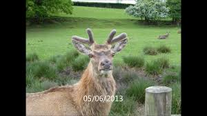 Does Deer Shed Their Antlers by The Progression Of Our Stag U0027s Antlers Youtube