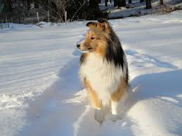 Sheltie Shedding Puppy Coat by Shetland Sheepdog Dogs And Puppies Dog Breeds Journal