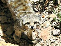 mountain cat andean cat international society for endangered cats isec canada