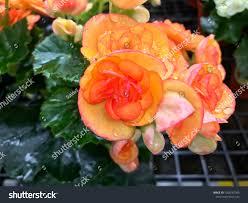 100 Fresh Home And Garden Orange Begonia Flower Blooming Stock Photo