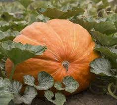 Atlantic Giant Pumpkin Record by Want To Grow A Truly Giant Pumpkin Here U0027s How Oregonlive Com