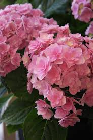 hydrangea you & me to her pink flower green 2