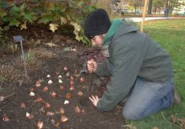 fall bulb planting part 2 botanical garden