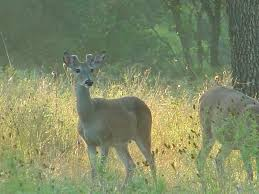 Whitetail Deer Shedding Velvet by Scouting Whitetail Deer Deer Pictures