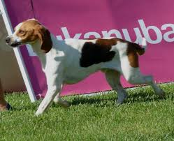 Do Treeing Walker Coonhounds Shed by Hound Artesian Dogs Breeds Pets