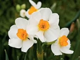 the complete guide to daffodils southern living