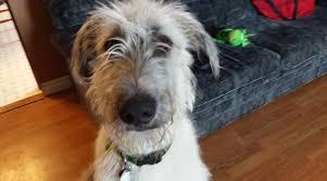 Irish Wolfhound Non Shedding by Health Info Guarantee Norhunter Irish Wolfhounds