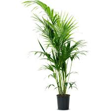 howea forsteriana potted plant kentia palm 48 liked on