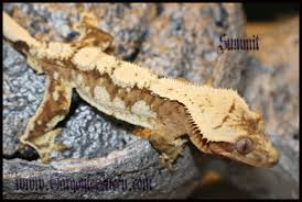 Crested Gecko Halloween Morph For Sale Uk by The Pangea Forums Crested Geckos U0026 More Lizards Pinterest