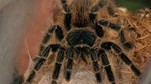 Do Tarantulas Molt Upside Down by What You Need To Know About Tarantula Molting Howcast The Best