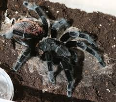 Do Tarantulas Molt Upside Down by 114 Best Spiders Images On Pinterest Spiders Nature And Insects