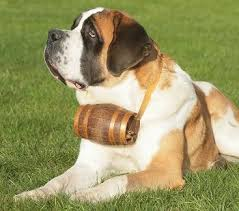 Do Short Haired Saint Bernards Shed by Everything About Your Saint Bernard Luv My Dogs