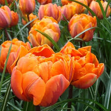 buy tulip orange princess bulbs unwins