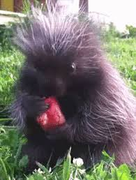 Porcupine Eats Pumpkin by This Is A Porcupine Eating A Pretzel You U0027re Welcome Aww