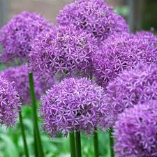 10 allium aflatunense purple sensation flower bulbs