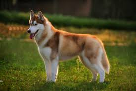 What Dog Sheds The Most by The 10 Dog Breeds That Shed The Most U2013 Iheartdogs Com