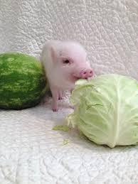 Can Guinea Pigs Eat Salted Pumpkin Seeds by Blog U2014 Hamlet The Piggy