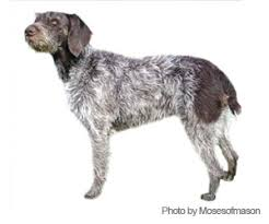 German Wirehaired Pointer Shedding by Pet Grooming Products U0026 Tips Wahlpets Com Care For My Dog