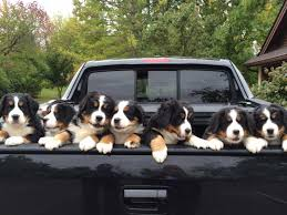 Bernese Mountain Dog Puppies In A Truck | Doggies >> Bernese & Swiss ... A Food Truck For Pets Is Coming To Boston Magazine Dogs Die Falling Off Pickup Trucks Trucking With A Dog What Drivers Should Know About Furry Pickups Pickup Truck Dog Rudy Photograph By Tara Cantore Blue Wall Art Bromi Design Pick Up Pal Cool Stuff Driving Behind The Steering Wheel Of Lorry Stock Debbis Front Porch Dawgz The Dangers In Beds 1800petmeds Cares Novel Four Bites Hc Thrifty Teachers