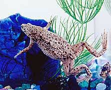 Should African Dwarf Frogs Shed by Some Common Questions