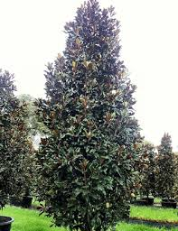 Magnolia Trees Richmond va Cross Creek Nursery & Landscaping