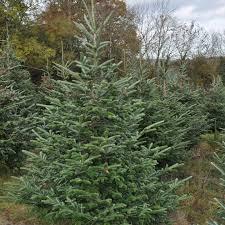 Fraser Christmas Trees Uk by Fraser Fir Christmas Trees For Sale Sendmeachristmastree
