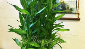 Best Plant For Bathroom by Fascinate Photograph Of Real Indoor Plants Nice Tree Planting