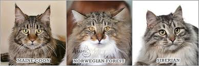 forest cat vs maine coon about the forest cats bosque arashi