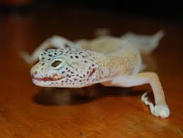 Crested Gecko Shedding Behavior by Gecko Shed Hotelroomsearch Net