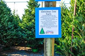 Types Of Christmas Trees To Plant by Christmas At King U0027s Gardens