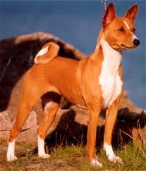 Basenji Shedding Puppy Coat by Basenji Dog Breed And Photos And Videos List Of Dogs Breeds