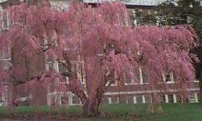 Flowering Cherry Nursery Trees