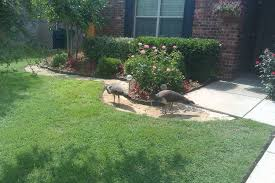 2 Peahens Just Appeared In Our Backyard...?   BackYard Chickens Our Backyard Chicken Coop 12 Oaks Building Castle With Wood Naturally Emily Henderson We Want To Adopt A Child Konstantin Marina Modern Jane Exllence In Design Right Okc Lifestyle Magazine Makeover New Patio Reveal Before And After The My Abundant Life Backyard Pool House Studio Hangout Ryobi Landscapes About Betty Hall Photography Camouflaging An Eyesore In Love Of Family Home