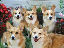 Miniature Dog Breeds That Dont Shed by List Of Toy Dog Breeds Maconbourgogne