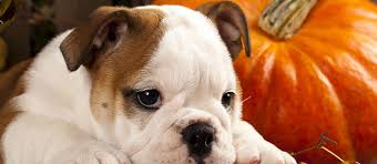 Pumpkin For Pets Diarrhea by Pumpkin For Dogs Very Delicious And Doggy Nutritious Care Com