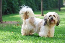 Shih Tzu Lhasa Apso Shedding by The Breed Lhasa Happy Homes