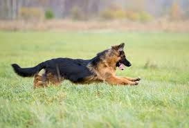 Shedding Blade German Shepherd by The Long Haired German Shepherd An Elusive U0026 Exotic Breed