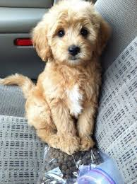 Best Mini Dogs That Dont Shed by Can I Please Have Some Of This Kibble Now Pretty Please With A