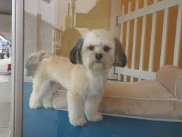 Small Dogs That Dont Shed Hair by Havanese My Work Spaw Pet Grooming Harrison Ohio Pinterest